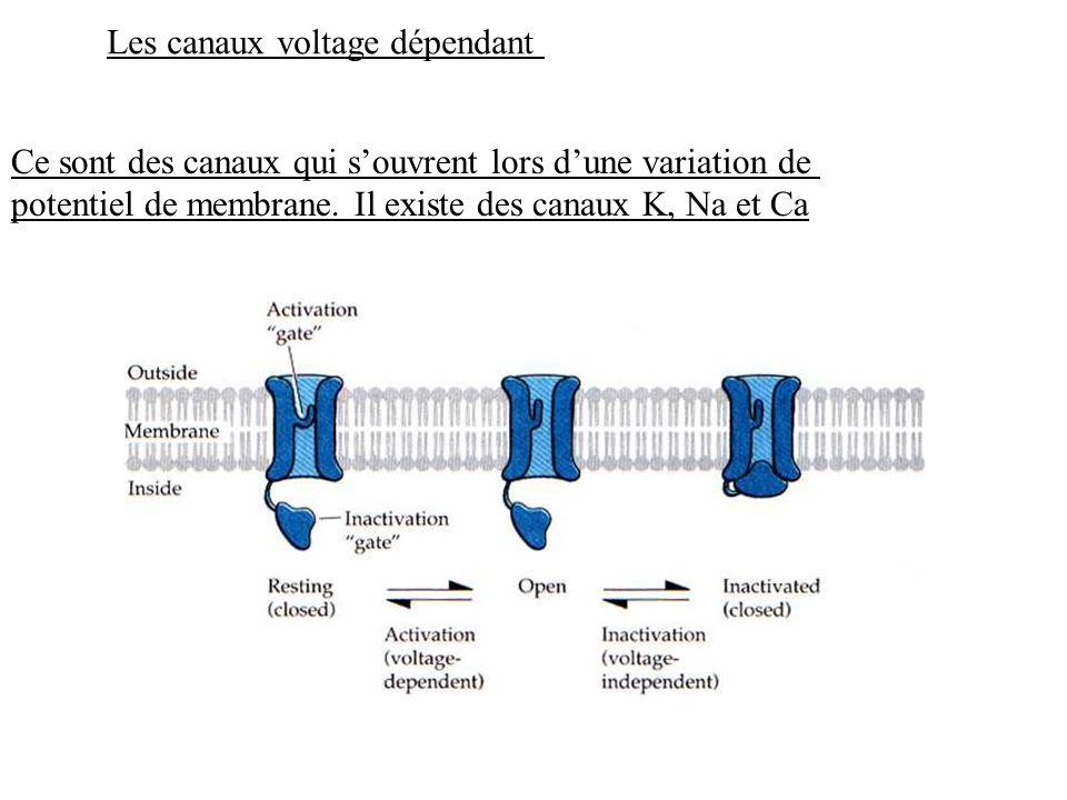 Les canaux voltage dépendant