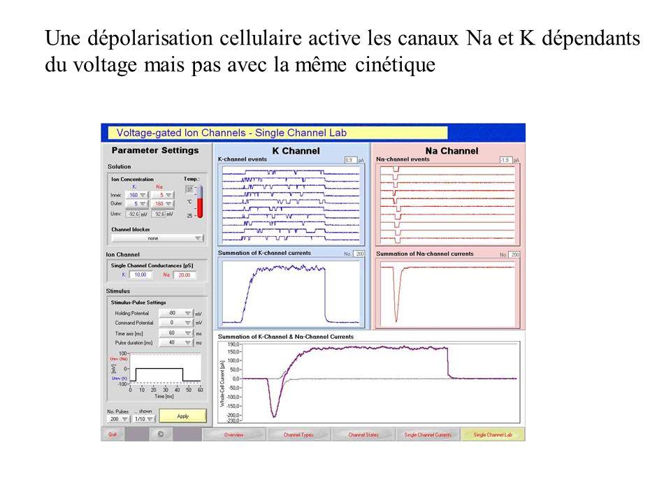 Une dépolarisation cellulaire active les canaux Na et K dépendants