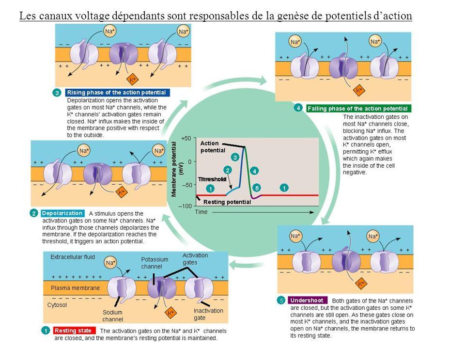Les canaux voltage dépendants sont responsables de la genèse de potentiels d'action