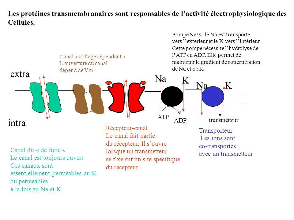 Les protéines transmembranaires sont responsables de l'activité électrophysiologique des