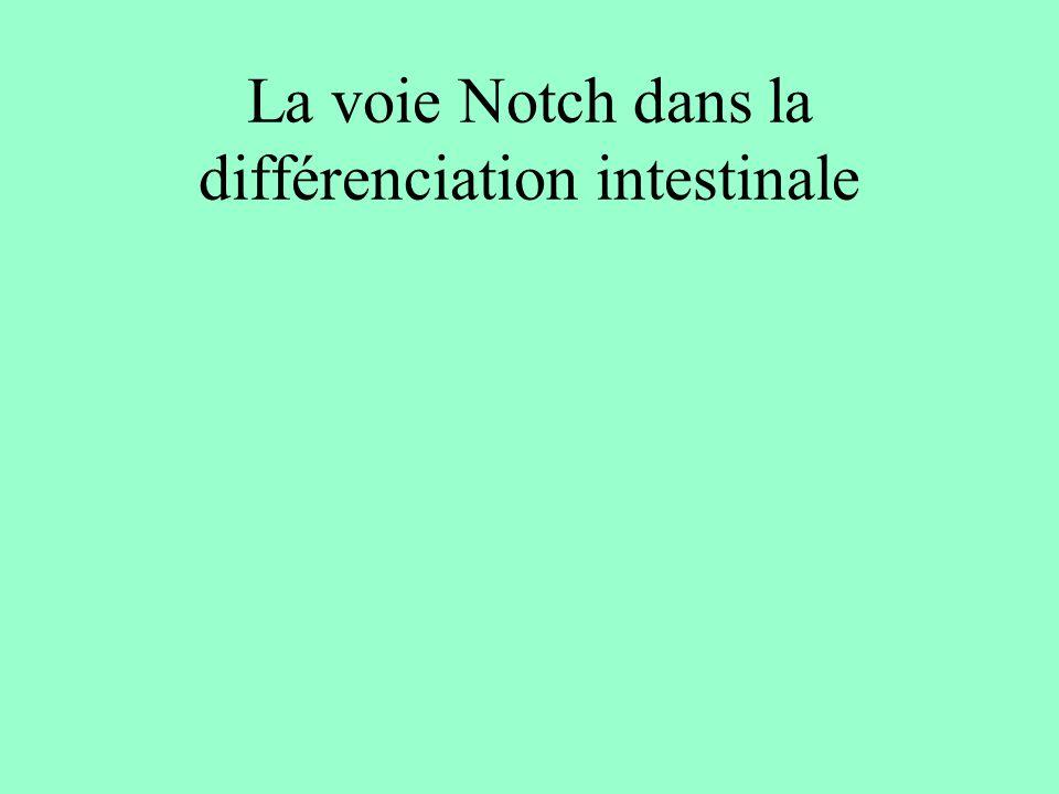 La voie Notch dans la différenciation intestinale