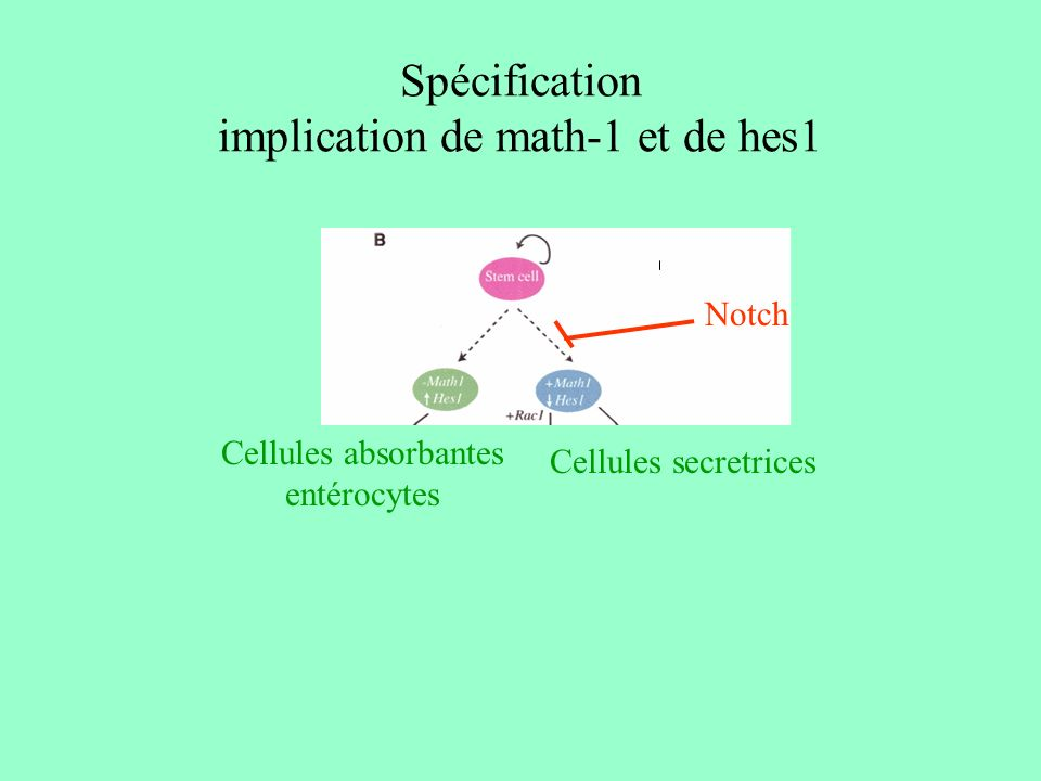 Spécification implication de math-1 et de hes1
