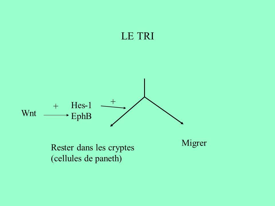 LE TRI + Hes-1 + EphB Wnt Migrer Rester dans les cryptes