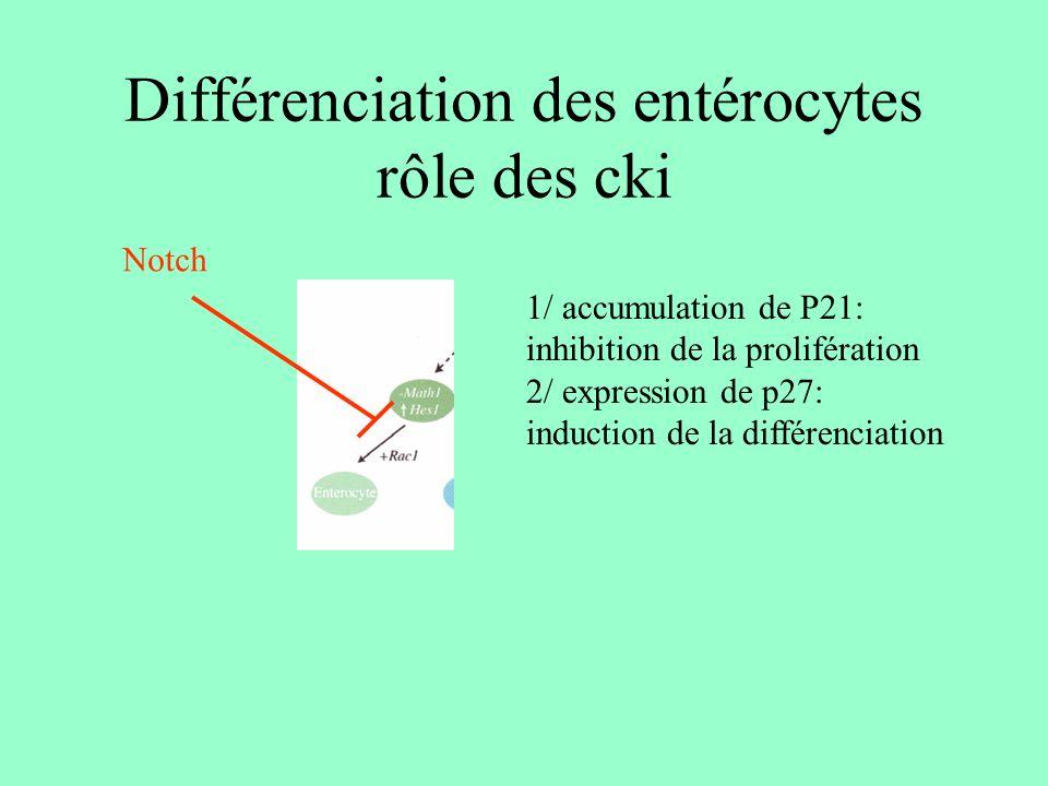 Différenciation des entérocytes rôle des cki