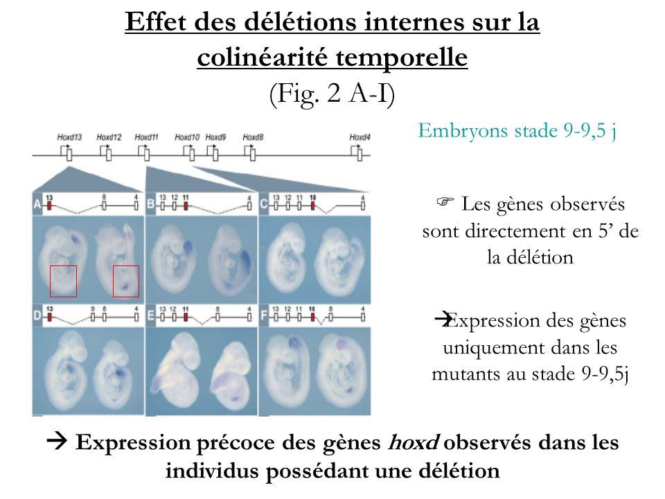Effet des délétions internes sur la colinéarité temporelle (Fig. 2 A-I)