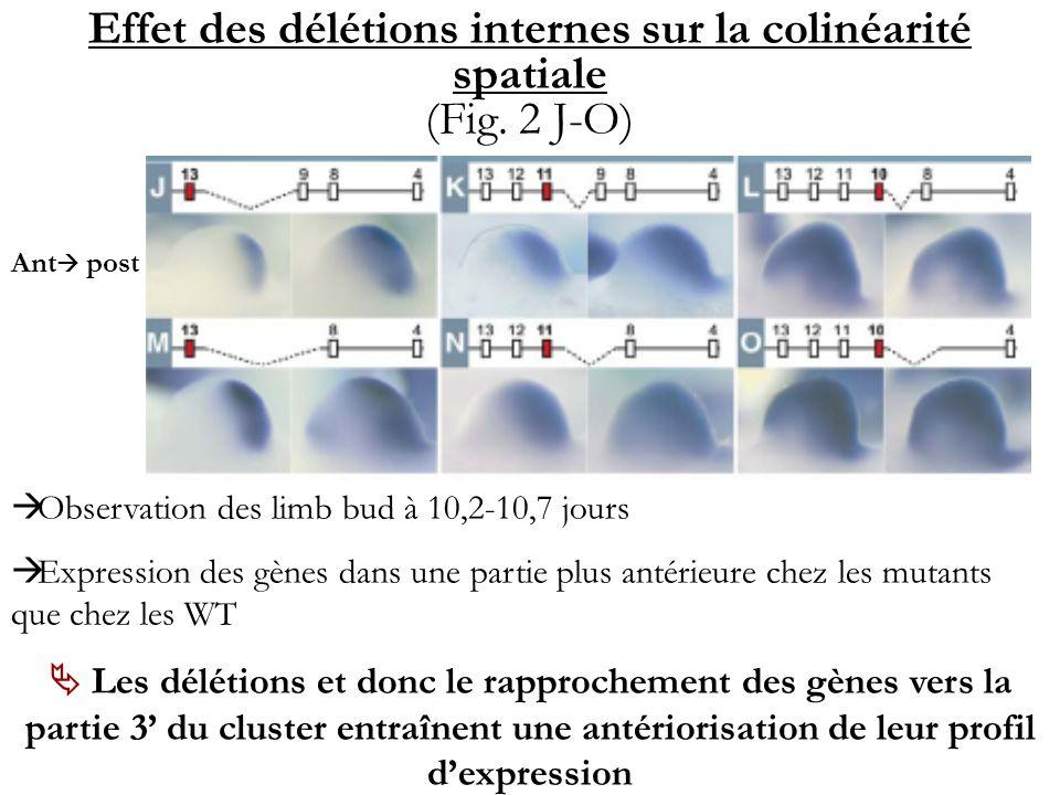 Effet des délétions internes sur la colinéarité spatiale (Fig. 2 J-O)