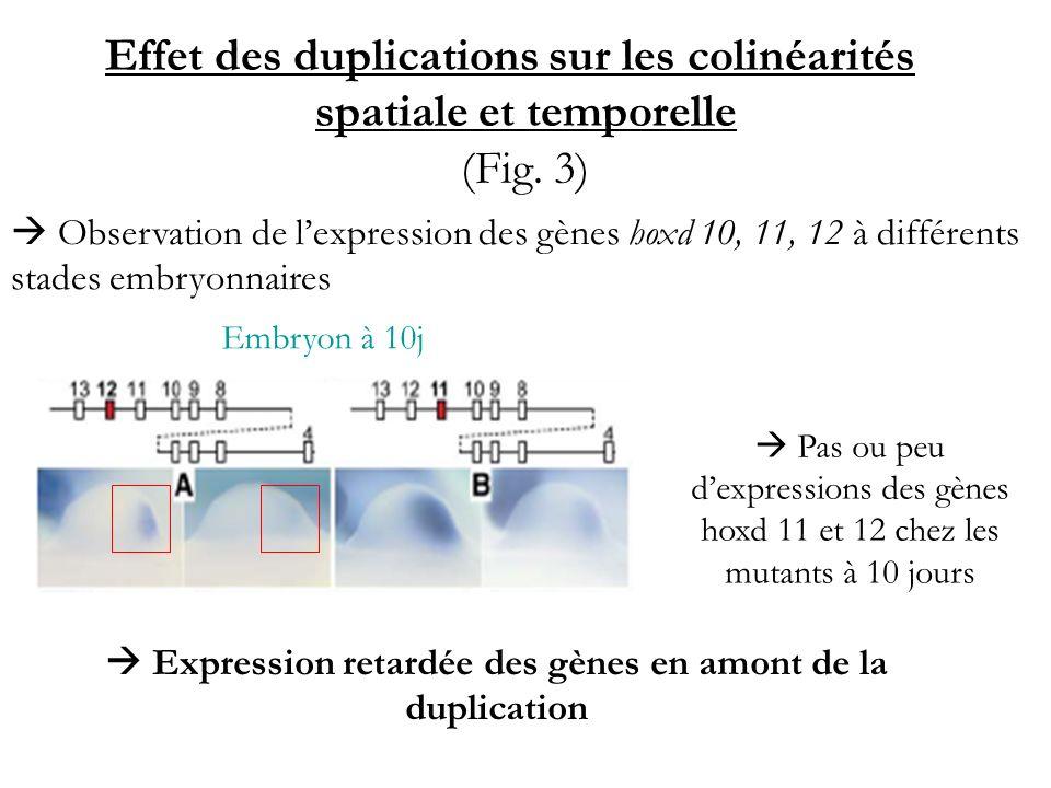  Expression retardée des gènes en amont de la duplication