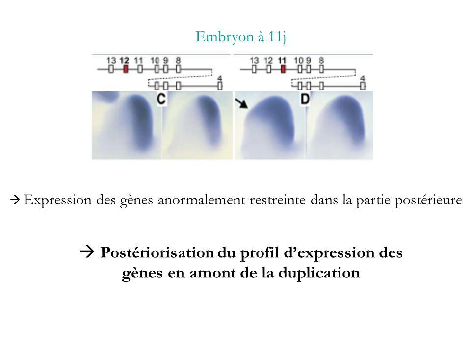 Embryon à 11j  Expression des gènes anormalement restreinte dans la partie postérieure.