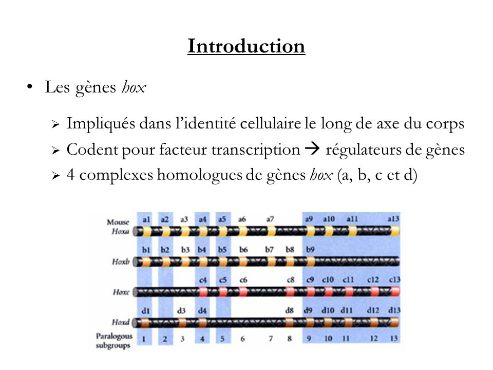 Introduction Les gènes hox