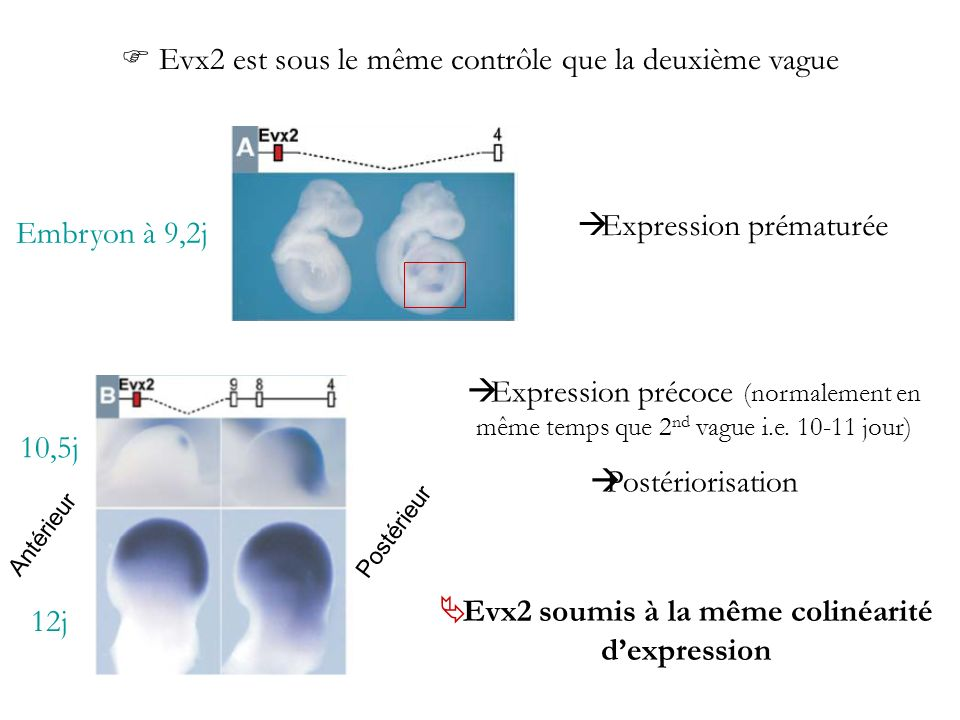 Evx2 soumis à la même colinéarité d'expression