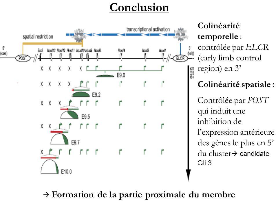  Formation de la partie proximale du membre