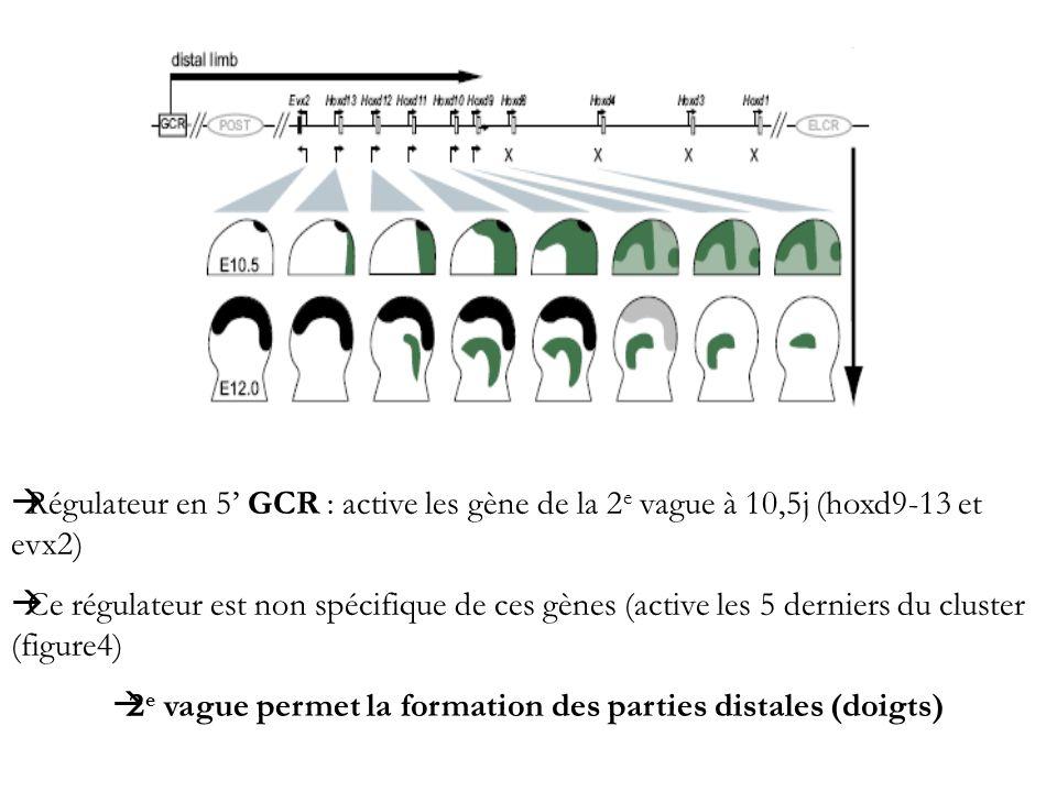 2e vague permet la formation des parties distales (doigts)