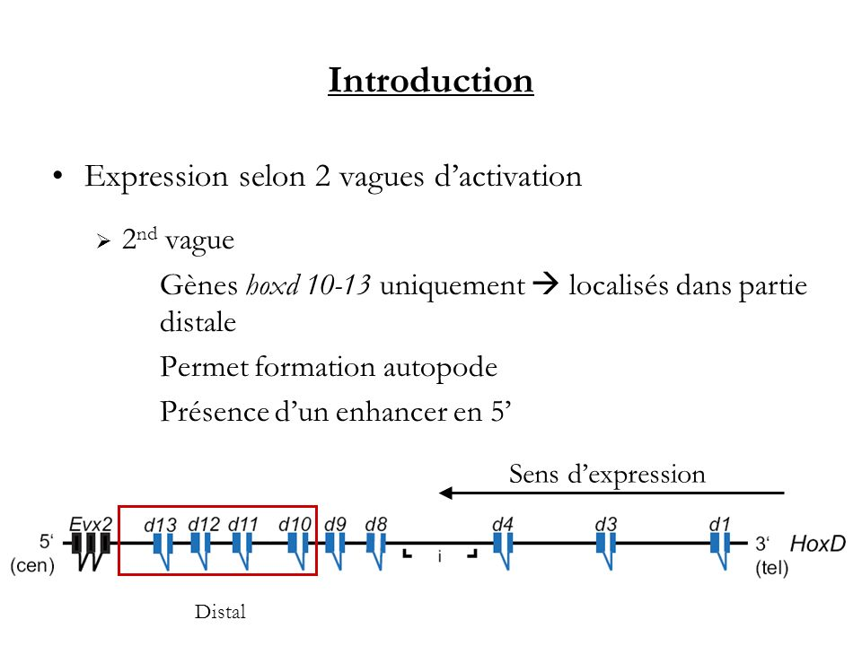 Introduction Expression selon 2 vagues d'activation 2nd vague