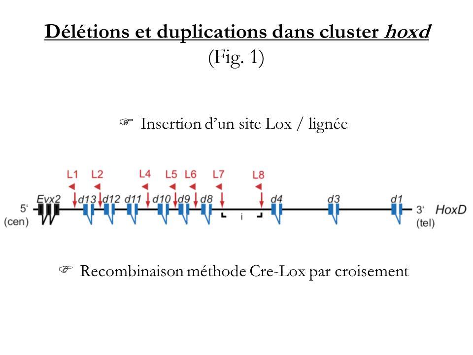 Délétions et duplications dans cluster hoxd (Fig. 1)