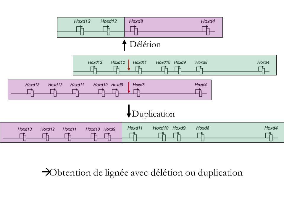 Obtention de lignée avec délétion ou duplication