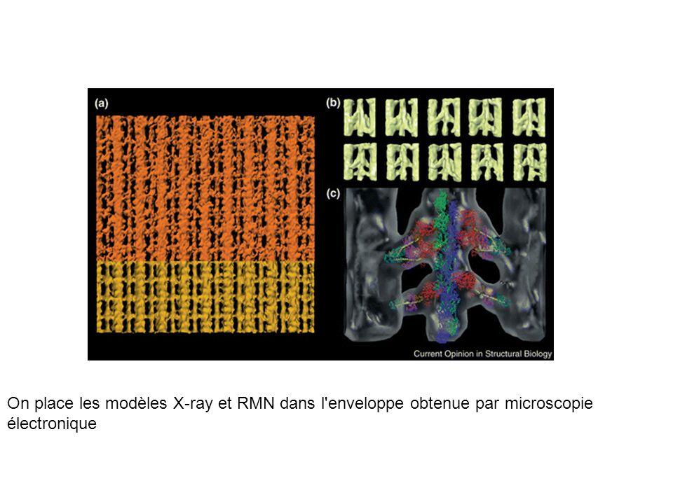 On place les modèles X-ray et RMN dans l enveloppe obtenue par microscopie électronique