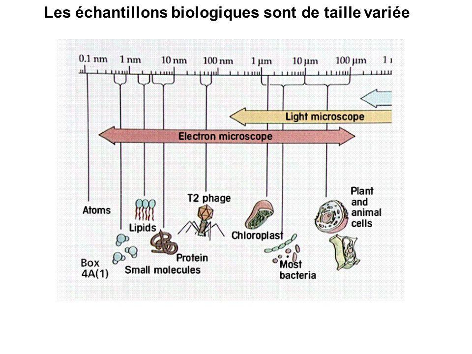 Les échantillons biologiques sont de taille variée