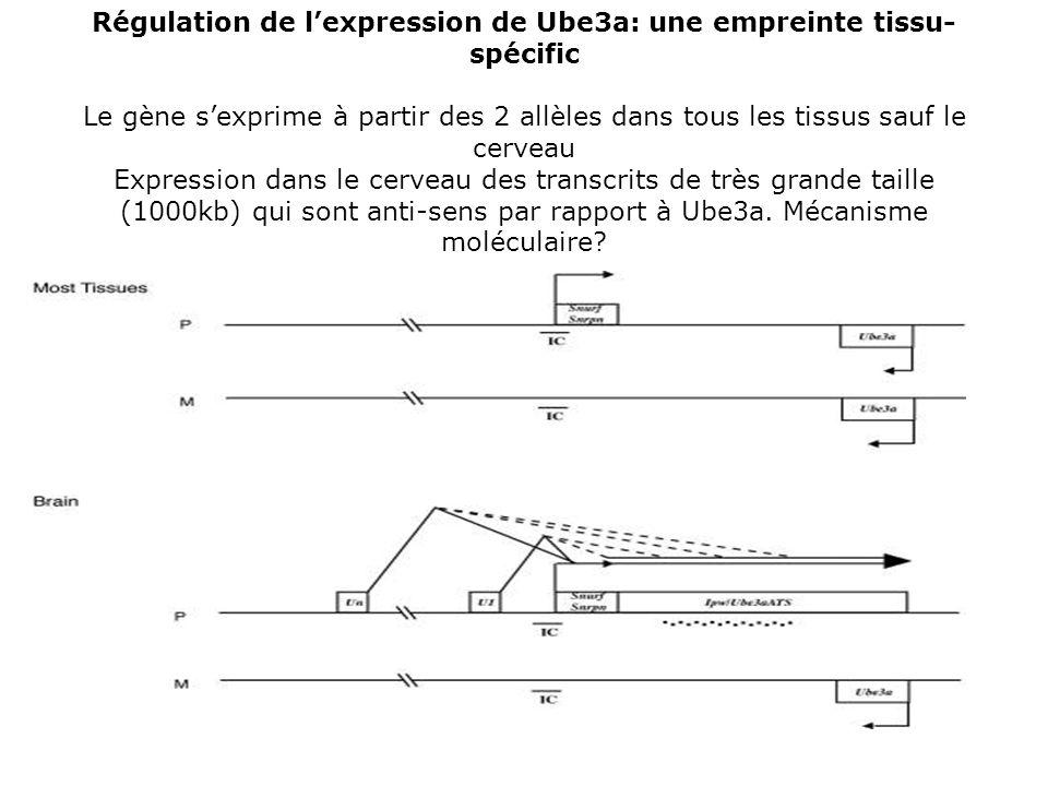 Régulation de l'expression de Ube3a: une empreinte tissu-spécific Le gène s'exprime à partir des 2 allèles dans tous les tissus sauf le cerveau Expression dans le cerveau des transcrits de très grande taille (1000kb) qui sont anti-sens par rapport à Ube3a.
