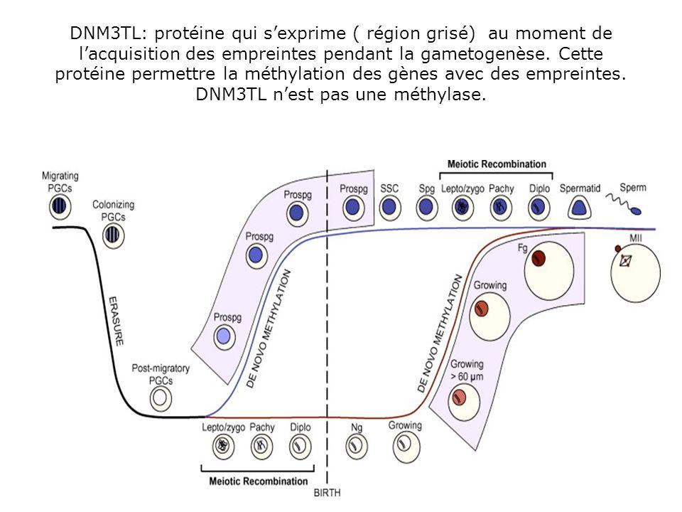 DNM3TL: protéine qui s'exprime ( région grisé) au moment de l'acquisition des empreintes pendant la gametogenèse.