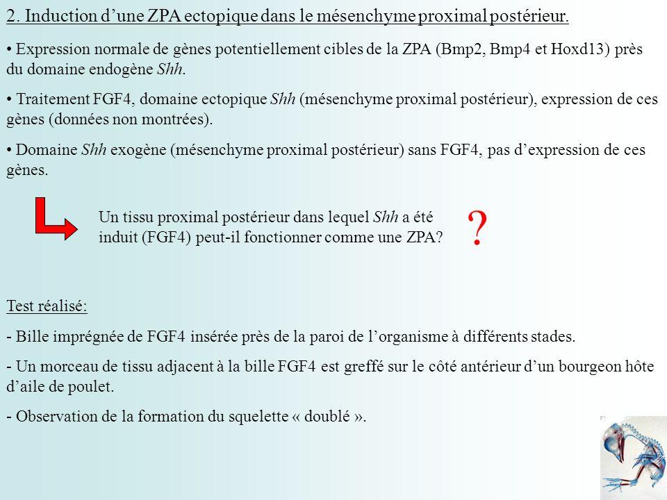 2. Induction d'une ZPA ectopique dans le mésenchyme proximal postérieur.