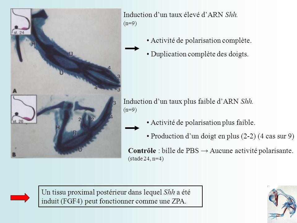 Induction d'un taux élevé d'ARN Shh.