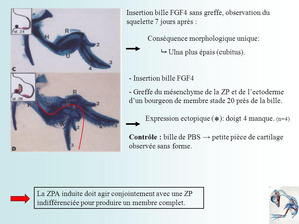 Insertion bille FGF4 sans greffe, observation du squelette 7 jours après :