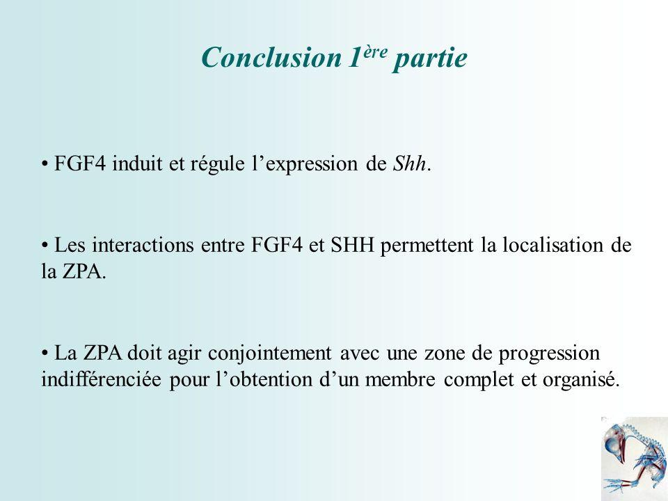 Conclusion 1ère partie FGF4 induit et régule l'expression de Shh.