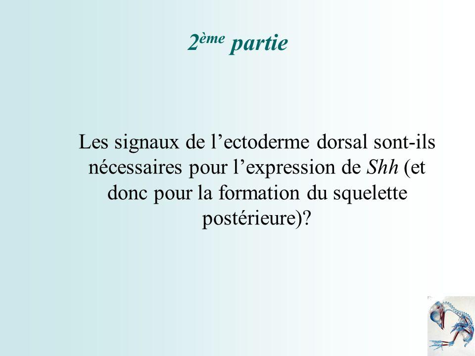 2ème partie Les signaux de l'ectoderme dorsal sont-ils nécessaires pour l'expression de Shh (et donc pour la formation du squelette postérieure)