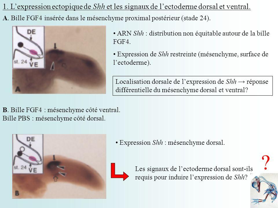 1. L'expression ectopique de Shh et les signaux de l'ectoderme dorsal et ventral.