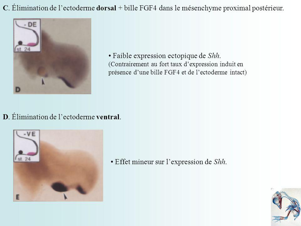 C. Élimination de l'ectoderme dorsal + bille FGF4 dans le mésenchyme proximal postérieur.