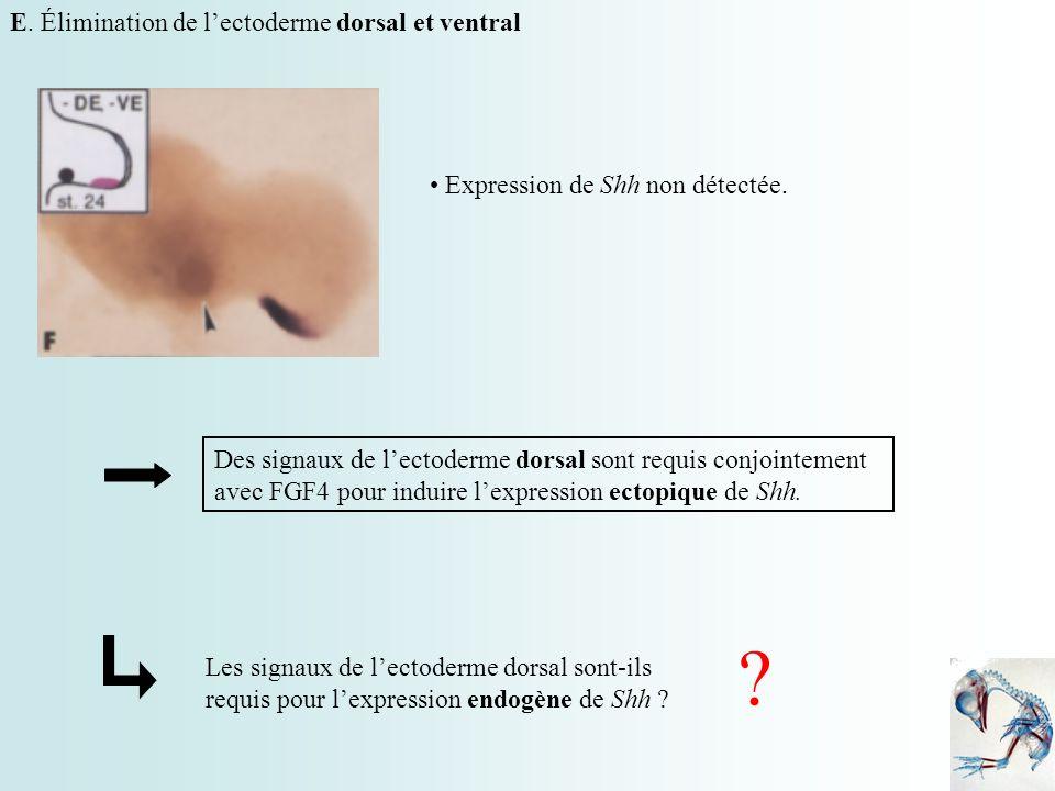 E. Élimination de l'ectoderme dorsal et ventral