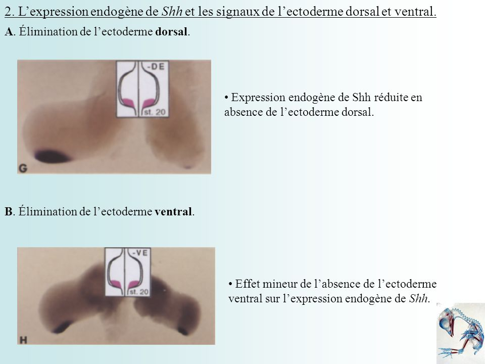 2. L'expression endogène de Shh et les signaux de l'ectoderme dorsal et ventral.