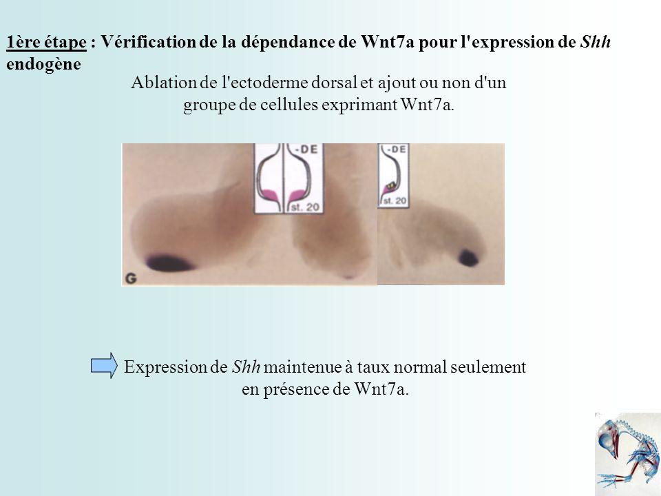 1ère étape : Vérification de la dépendance de Wnt7a pour l expression de Shh endogène