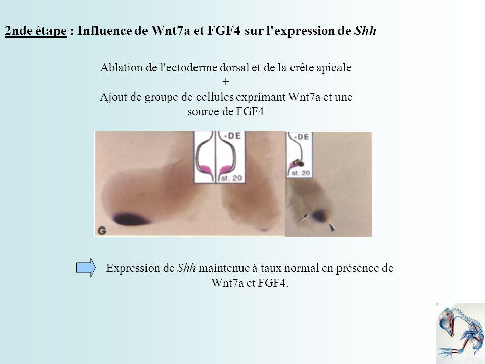 2nde étape : Influence de Wnt7a et FGF4 sur l expression de Shh
