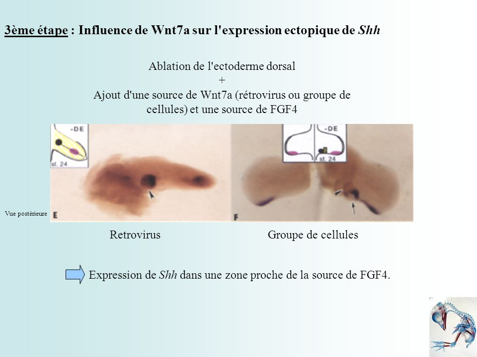 Ablation de l ectoderme dorsal