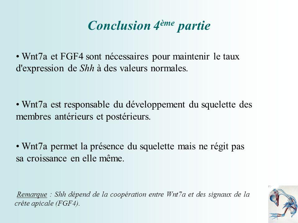 Conclusion 4ème partieWnt7a et FGF4 sont nécessaires pour maintenir le taux d expression de Shh à des valeurs normales.