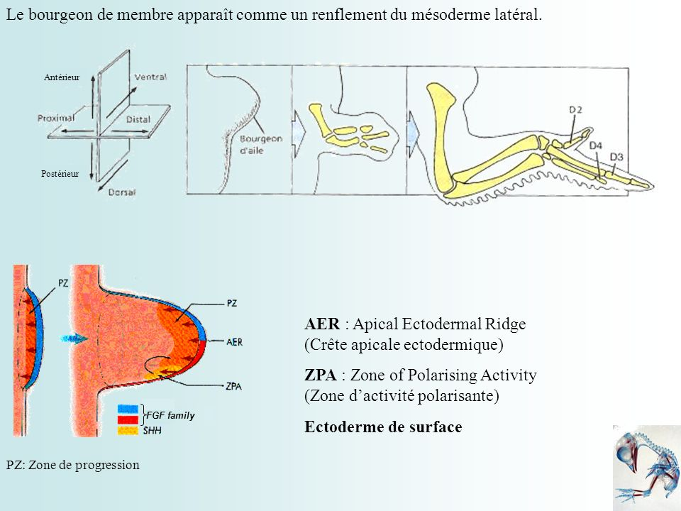 AER : Apical Ectodermal Ridge (Crête apicale ectodermique)