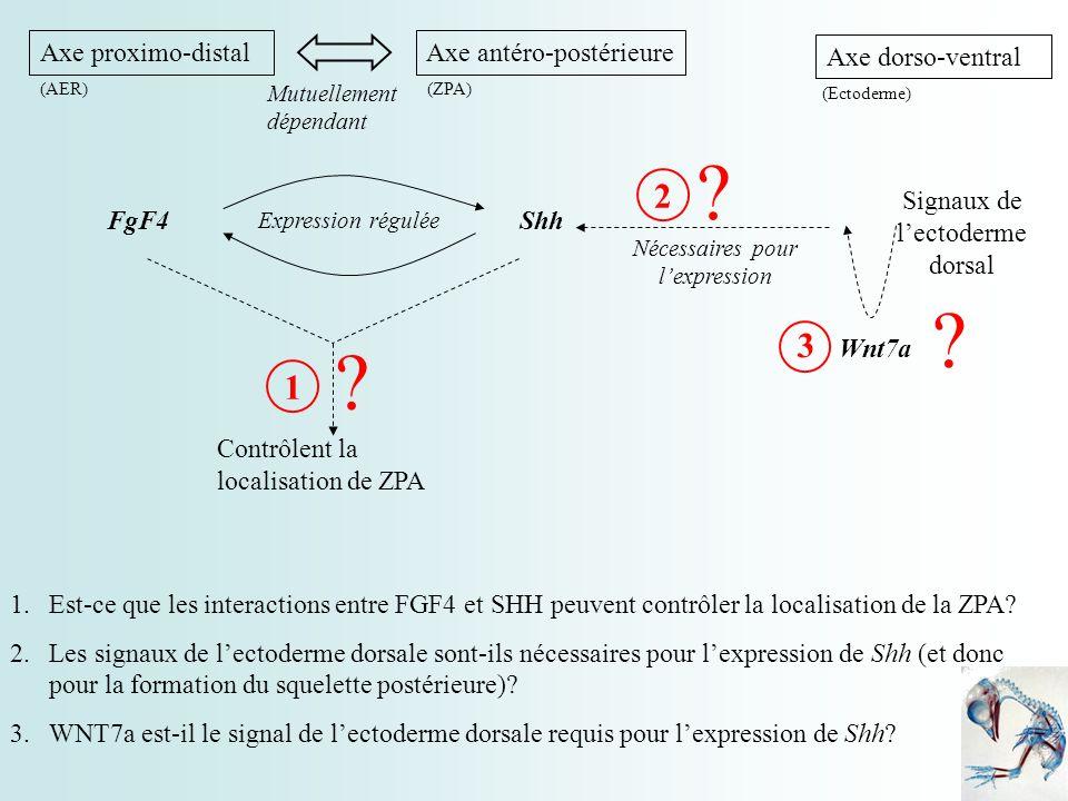 2 3 1 Axe proximo-distal Axe antéro-postérieure FgF4 Shh