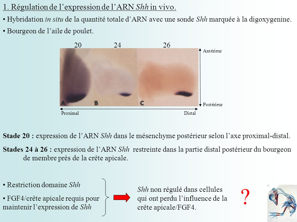 1. Régulation de l'expression de l'ARN Shh in vivo.