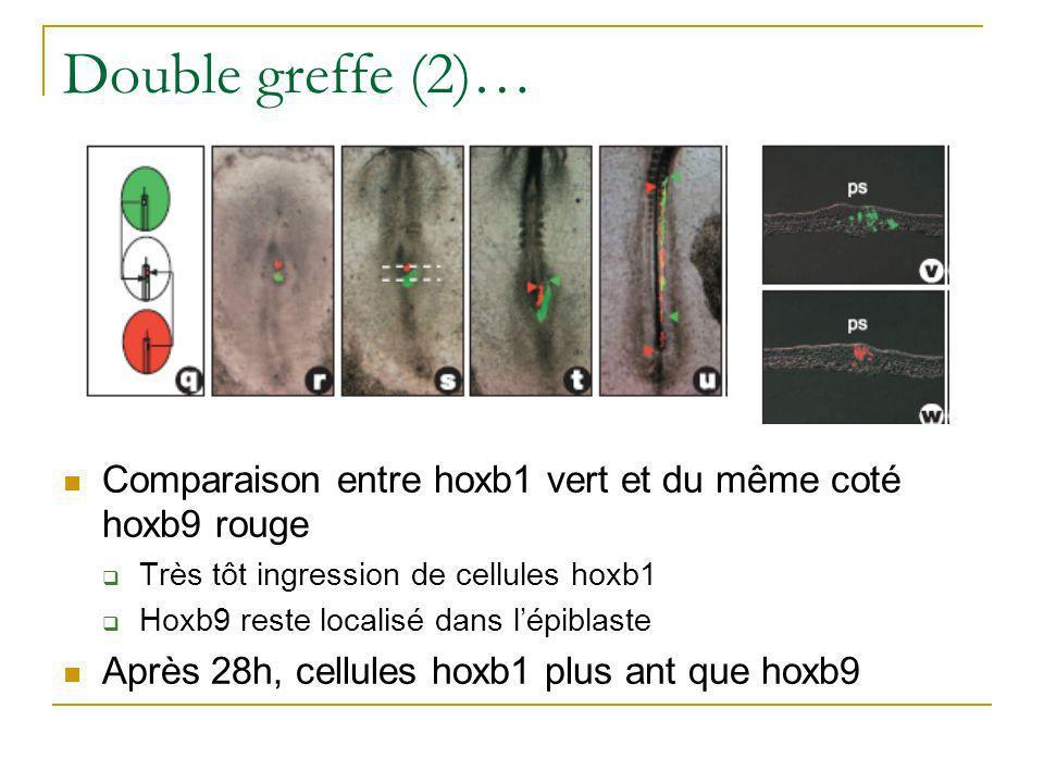 Double greffe (2)… Comparaison entre hoxb1 vert et du même coté hoxb9 rouge. Très tôt ingression de cellules hoxb1.