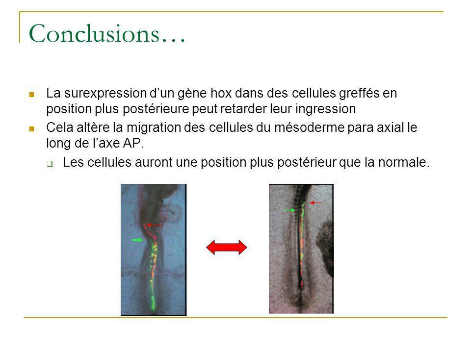 Conclusions… La surexpression d'un gène hox dans des cellules greffés en position plus postérieure peut retarder leur ingression.