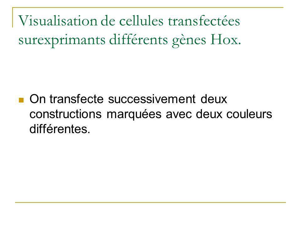 Visualisation de cellules transfectées surexprimants différents gènes Hox.