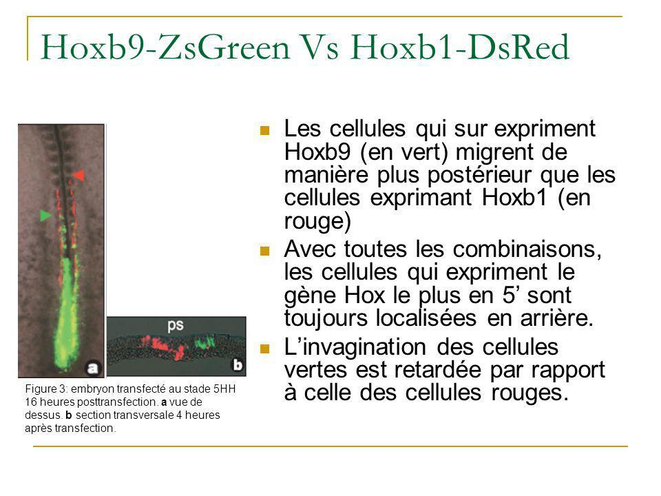 Hoxb9-ZsGreen Vs Hoxb1-DsRed