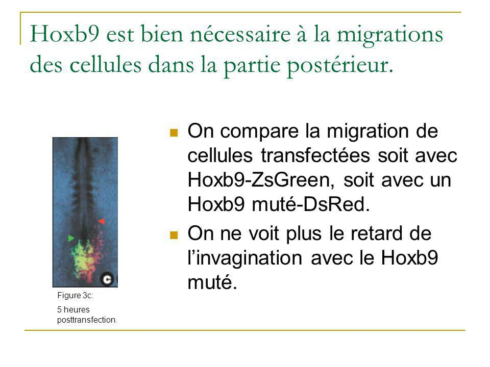 Hoxb9 est bien nécessaire à la migrations des cellules dans la partie postérieur.