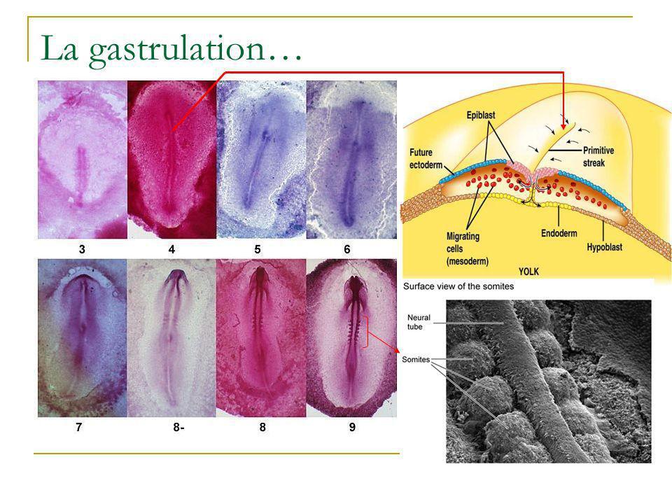 La gastrulation…