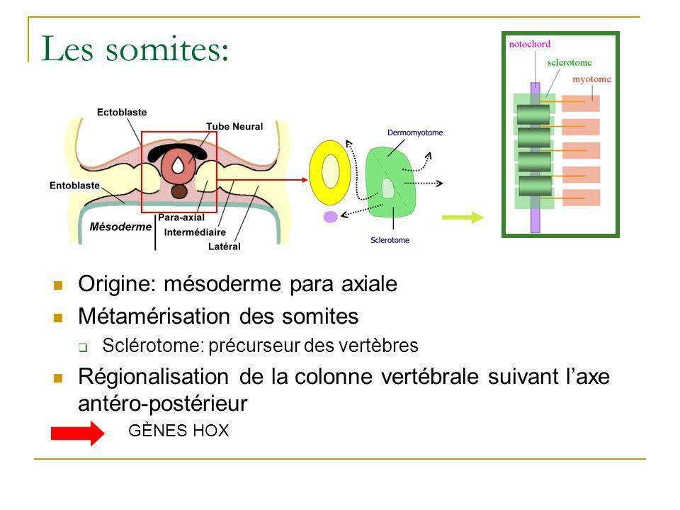 Les somites: Origine: mésoderme para axiale Métamérisation des somites