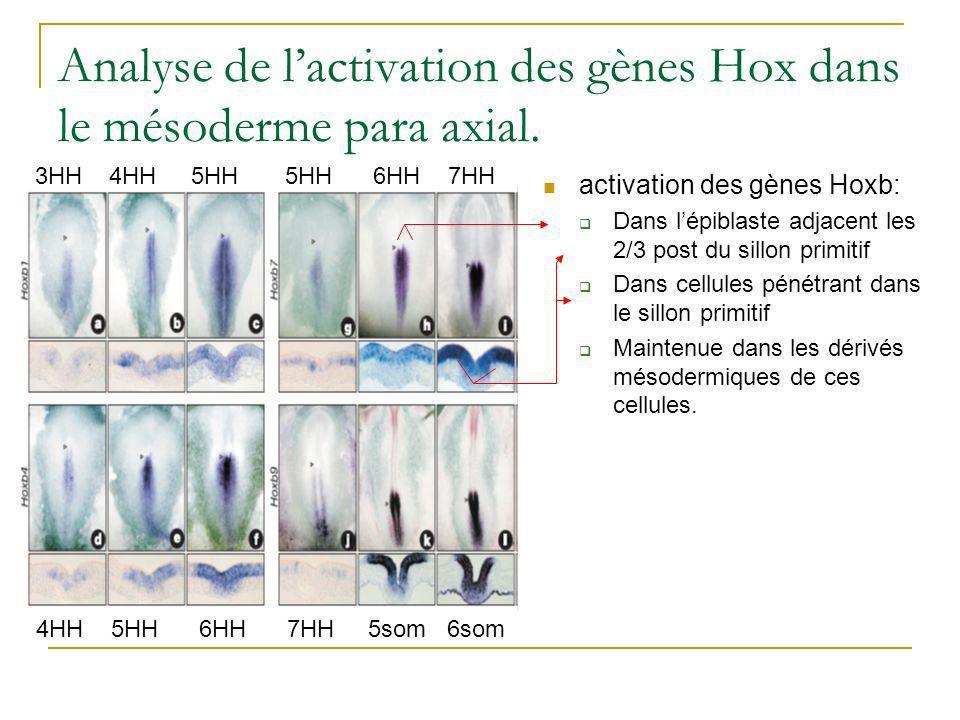 Analyse de l'activation des gènes Hox dans le mésoderme para axial.