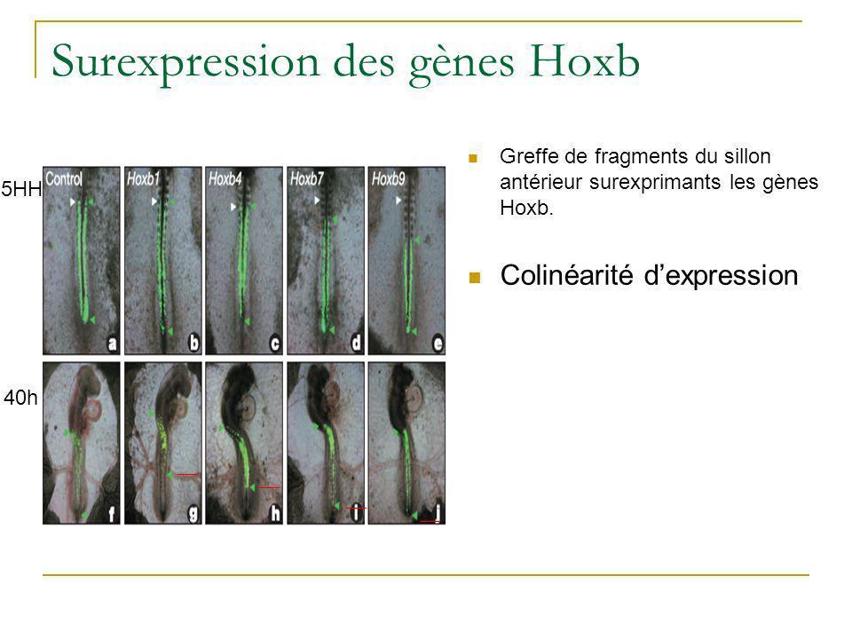 Surexpression des gènes Hoxb