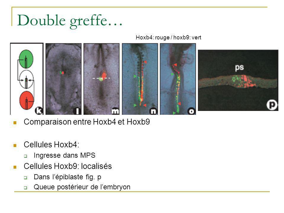 Double greffe… Comparaison entre Hoxb4 et Hoxb9 Cellules Hoxb4: