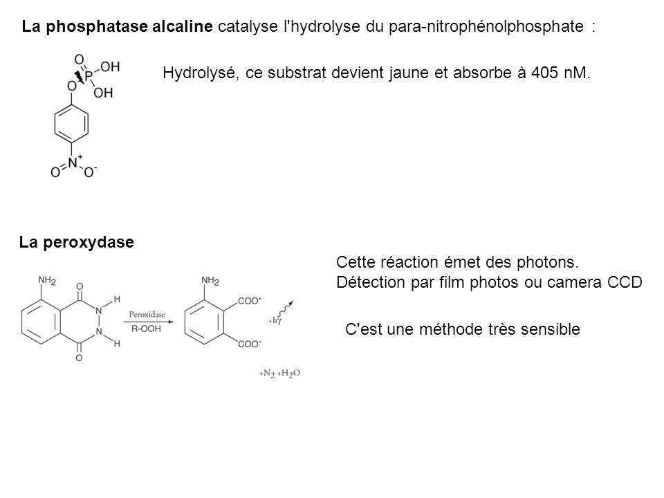 La phosphatase alcaline catalyse l hydrolyse du para-nitrophénolphosphate :